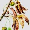 Чому на черешні, вишні засохли листя, плоди опало