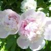 Чому не цвітуть піони?