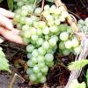 Який сорт винограду вибрати?