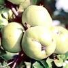 Популярні сорти яблуні