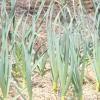 Посадка часнику і його вирощування без секретів