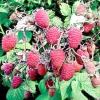 Сорти садової малини