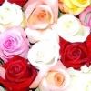 Посадка троянд від створення клумби до прекрасного розарію