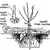 Посадочні ями для саджанців плодових дерев