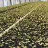 Посів і вирощування редису