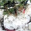 Правила зимової пересадки лісових крупномірів