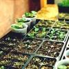 Правильно Прорість, виростити розсаду без втрат, перевірити схожість насіння