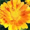 Пряні, ароматичні та лікарські рослини для декоративного городу
