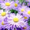 Проект квітника: квітник в синьо-жовтій гамі