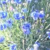 Прості, милі квіти
