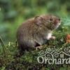 Рослини проти гризунів, як зберегти посадки цибулинних від мишей