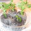 Розмноження хризантем