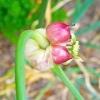 Розмноження озимого часнику бульбочками