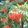 Горобина червона (звичайна) - лікувальні властивості, рецепти, застосування