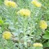 Родіола рожева (золотий корінь) - лікувальні властивості, рецепти