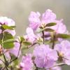 Рододендрон в садових ансамблях