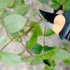 Троянди: формування кущів, обрізання, видалення порослі