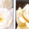 Троянди. групи садових троянд.