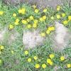 Садова доріжка з кульбабами