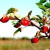 Шипшина - лікувальні властивості, рецепти, застосування