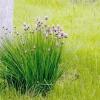 Шніт-цибуля / аllium schoenoprasum