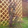 Шпалера - стильна прикраса саду