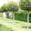 Створення штамбової форми садових рослин
