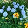 Сині фарби червня в саду.