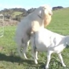 Злучка кіз і пологи - як правильно розводити кіз на особистому подвір'ї