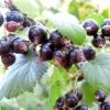 Смородина чорна - лікувальні та корисні властивості, використання, рецепти