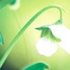 Горох овочевий / pisum sativum