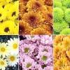 Сорти хризантем