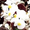 Сорти і гібриди бегонії всегдацветущая