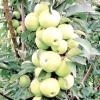 Сорти колонновидних яблунь