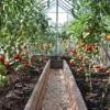 Поради з висадження томатів у теплиці, догляд за розсадою