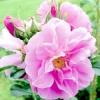 Сучасні гібриди троянди зморшкуватою