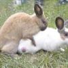Парування кроликів для отримання хорошого приплоду
