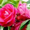 Старовинні садові (паркові) троянди