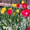 Тюльпани і нарциси - красиві квіти з міфічними іменами