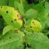 Попелиця і щитівка на кімнатних растеніях- лимон, троянда, способи боротьби