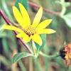 Топінамбур / helianthus tuberosus