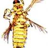 Трипси, вид тютюнового трипса, способи боротьби