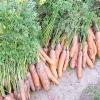 Прибирання та зберігання врожаю моркви