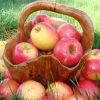 Урожай яблук, можна зберегти подовше