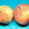 В'янення яблук