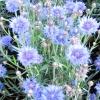 Волошка синя (волошки) - лікувальні властивості, рецепти