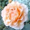 Важливі тонкощі обрізки троянд