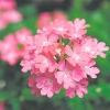 Вербена і петунія - різнокольорові красуні