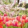 Весняне чарівність червоного і рожевого