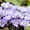 Весняні первоцвіти